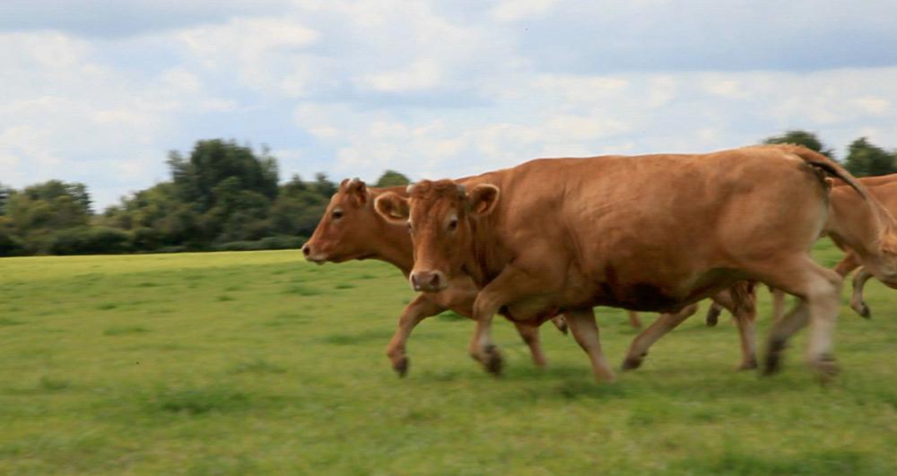 Vaches en Brennes