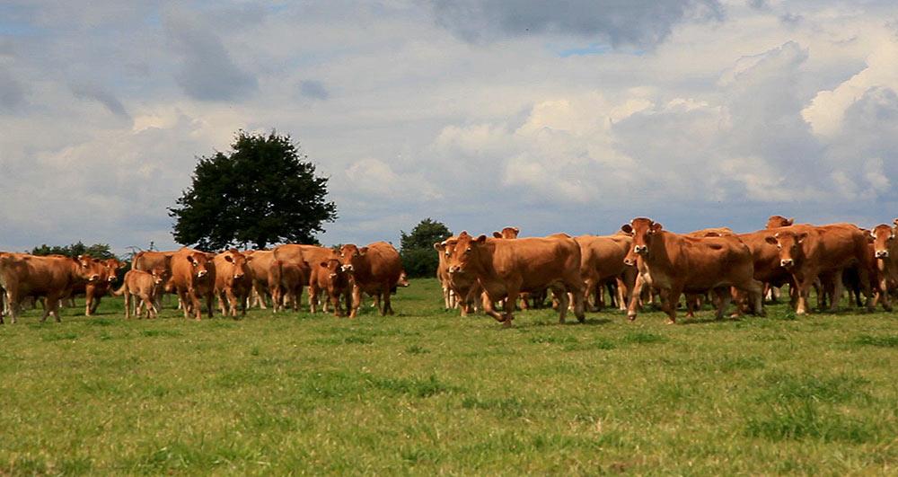 chantons aux vaches
